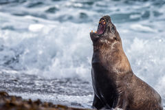Roar of Male sea lion seal on the beach. Big Male sea lion seal on Patagonia beach while roaring Stock Images