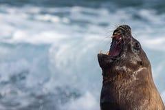 Roar of Male sea lion seal Royalty Free Stock Image
