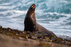 Roar of Male sea lion seal. Big Male sea lion seal on Patagonia beach while roaring Royalty Free Stock Image
