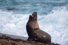 Roar of Male sea lion seal Stock Photo