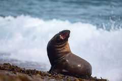 Roar of Male sea lion seal. Big Male sea lion seal on Patagonia beach while roaring Stock Photography