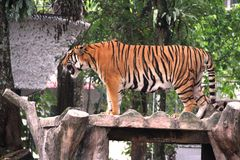Roar!. Male tiger standing on the bench and roar in broad daylight stock photos