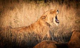 Roar. The mighty roar stock images