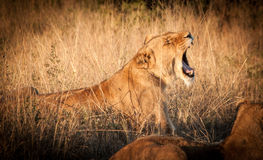 Roar Stock Images