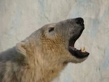 Roar of polar bear. On background of the block of ice royalty free stock photo