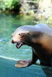 Roar of a sea lion Stock Image