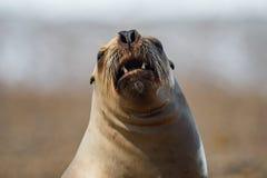 Roar of sea lion seal. Sea lion seal on Patagonia beach while roaring Stock Photos
