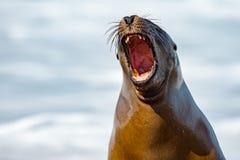 Roar of sea lion seal. Sea lion seal on Patagonia beach while roaring Stock Photo