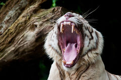 Roar Royalty Free Stock Photo