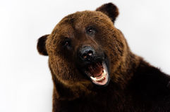 Roared bear Royalty Free Stock Image