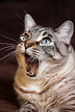 Roaring. A hungry cat show his red tongue while roaring Royalty Free Stock Photos