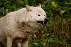 Roaring adult wolfe showing teeth Stock Photos