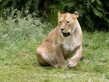 Roaring African lioness Stock Photography