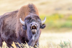 Roaring bison in Yellowstone National Park. A close up of a roaring bison in Yellowstone National Park Stock Images