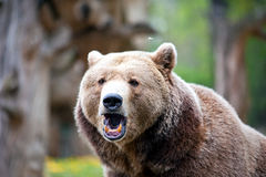 Roaring brown bear Royalty Free Stock Image