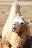 Roaring camel Royalty Free Stock Photos