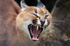 Roaring Caracal Stock Image