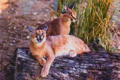 Roaring caracal Royalty Free Stock Photo