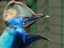 Roaring Cassowary. Big blue bird cassowary open its mouth and roaring Stock Photos