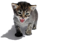Roaring cat. With long shadow on white background Stock Photography