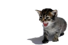 Roaring cat. With long shadow on white background Stock Photo