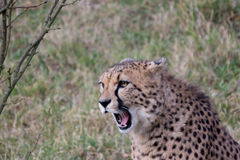 Roaring cheetah Stock Photos