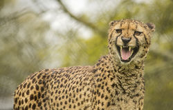 Roaring cheetah Royalty Free Stock Images