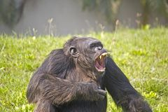 Roaring Chimpanzee Royalty Free Stock Image