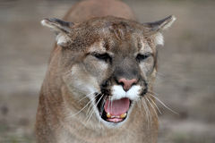 Roaring cougar Stock Photography