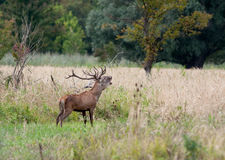 Roaring deer Royalty Free Stock Image