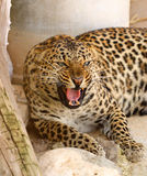 Roaring leopard Royalty Free Stock Photography