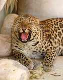 Roaring leopard Stock Photos