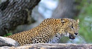 Roaring Leopard. The Sri Lankan leopard Panthera pardus kotiya female. Leopard roaring. Leopard on a stone. The Sri Lankan leopard Panthera pardus kotiya female Royalty Free Stock Photos