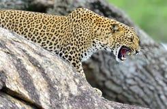 Roaring Leopard. The Sri Lankan leopard Panthera pardus kotiya female. Leopard roaring. Leopard on a stone. The Sri Lankan leopard Panthera pardus kotiya female Stock Image