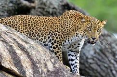 Roaring Leopard. The Sri Lankan leopard Panthera pardus kotiya female. Leopard roaring. Leopard on a stone. The Sri Lankan leopard Panthera pardus kotiya female Royalty Free Stock Image