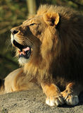 Roaring Lion. African lion roaring showing its bare teeth Stock Photos