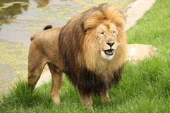 Roaring Lion. Lion standing up in grass starting to roar Royalty Free Stock Photo