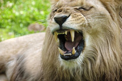Roaring lion. Portrait of a roaring lion Stock Photos