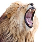 Free Roaring Lion Stock Photo - 161515000