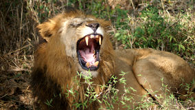 Roaring Lion. The closeup of the African lion king roaring Stock Photography