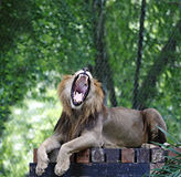 Roaring lion. An Asiatic Lion, scientifically known as Panthera Leo, roaring in a green jungle environment stock photos