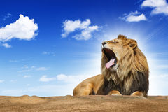 Roaring lion. Under blue syk Royalty Free Stock Photo