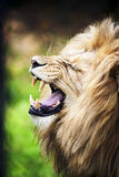Roaring lion. Portrait of the predator Royalty Free Stock Image
