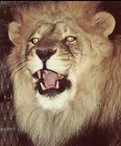 Roaring Lion. A picture of an angry roaring lion Stock Images