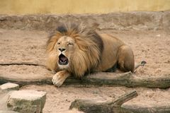 Roaring lion. Big male lion roaring loud Royalty Free Stock Photography