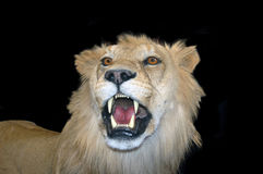 Roaring lion. Portrait of roaring lion with black background Royalty Free Stock Photo