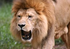 Roaring Lion. African lion roaring and showing his teeth Stock Photography