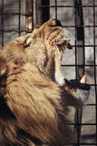 Roaring lion in a cage. Photo of lion in zoo Royalty Free Stock Images