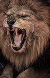 Roaring lion Stock Image