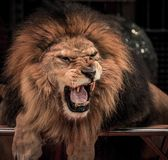 Roaring lion. Close-up shot of  gorgeous roaring lion in circus arena Stock Photography
